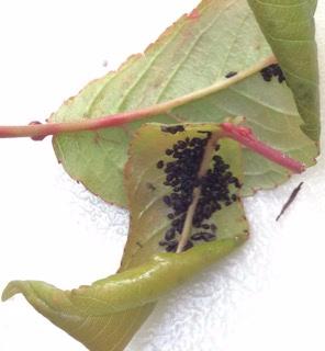 almaden-duke-cherry-bugs-1.jpg