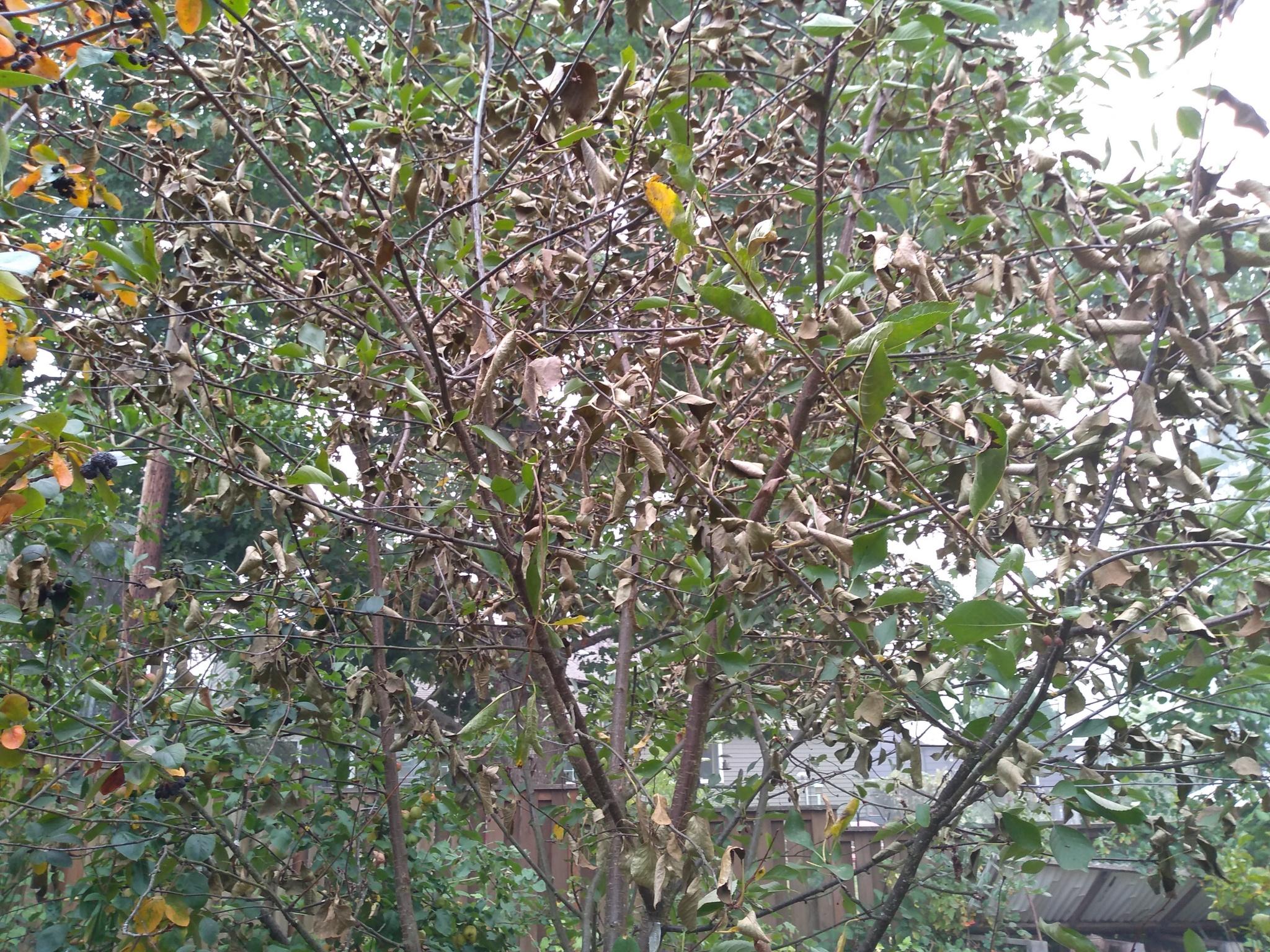 Disease-on-Mont-cherry-leaves.jpg