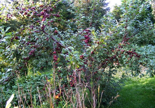 Heavy-Crop-Opata-Cherry-Plum-2011-08-14.jpg